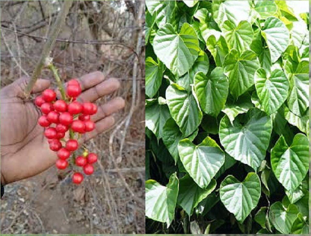 गुळवेल गुडूची गिलोय गुण, गुळवेल गुडूची गिलोय औषधी उपयोग, Gulvel, Guduchi, Giloy in Marathi, gulvel plant in marathi, गुळवेल, गुळवेलाचे फायदे, गुडूची, guduchi, guduchi in marathi, tinospora cordifolia, tinospora, gulvel plant in marathi, giloy plant in marathi, giloy meaning in marathi, giloy in marathi, gulvel kadha, gulvel satva, giloy, gulvel, gulvel plant, giloy plant marathi name, what is giloy in marathi, giloy in marathi meaning, गुळवेल गुडूची गिलोय इतर भाषेतील नावे, giloy juice in marathi, what is giloy called in marathi, gulvel plant benefits in marathi, gulvel uses, gulvel benefits, tinospora cordifolia in marathi, gulvel benefits in marathi, gulvel medicinal uses in marathi, gulvel plant benefits in marathi, gulvel plant marathi, gulvel kadha marathi, gulvel che fayde in marathi, gulvel powder benefits in marathi, giloy in marathi, giloy plant in marathi, giloy plant marathi name, what is giloy in marathi, meaning of giloy in marathi, giloy in marathi meaning, giloy juice in marathi, what is giloy called in marathi, giloy marathi arth, giloy plant in marathi name, giloy benefits in marathi, giloy juice benefits in marathi, neem giloy in marathi, गुळवेल डोस - मात्रा,