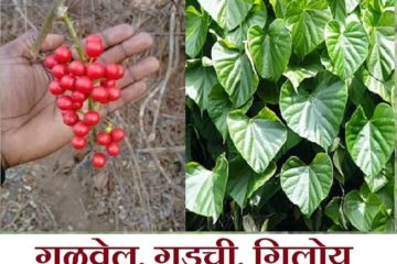 gulvel plant benefits in marathi, gulvel plant marathi, gulvel kadha marathi, gulvel che fayde in marathi, gulvel powder benefits in marathi, giloy in marathi,