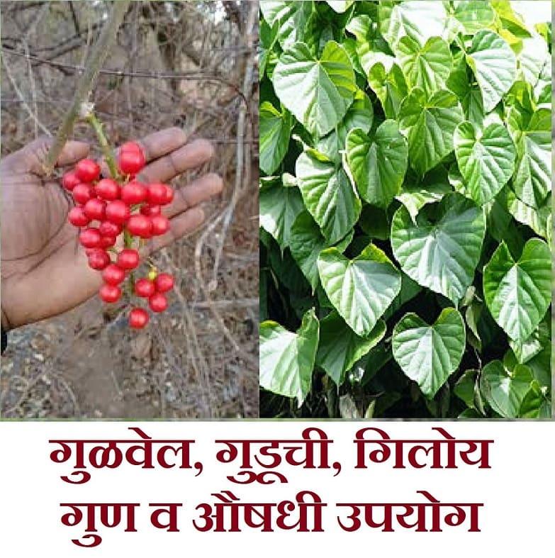 gulvel plant benefits in marathi, gulvel plant marathi, gulvel kadha marathi, gulvel che fayde in marathi, gulvel powder benefits in marathi, giloy in marathi