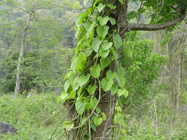 giloy juice in marathi, what is giloy called in marathi, gulvel plant benefits in marathi, gulvel uses gulvel benefits, tinospora cordifolia in marathi, gulvel benefits in marathi, gulvel medicinal uses in