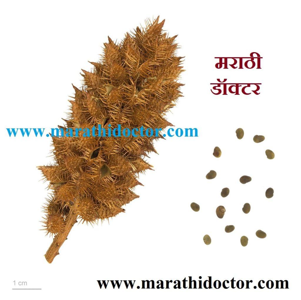 mulethi benefits, jeshthamadh, mulethi in english, mulethi in marathi, mulethi meaning in marathi, mulethi tree, licorice in marathi, mulethi images, mulethi powder in marathi, yashtimadhu plant, jeshthamadh benefits, licorice root in marathi, mulethi powder meaning in marathi, jeshthamadh in marathi, jeshthamadh che fayde, jest madh in marathi, ज्येष्ठमध माहिती, ज्येष्ठमध खाण्याचे फायदे, जेष्ठमधाचे फायदे, ज्येष्ठमध चूर्ण, ज्येष्ठमध उपयोग, ज्येष्ठमध म्हणजे काय ?, ज्येष्ठमध वनस्पती बद्दल माहिती, मुलेठी मराठी अर्थ, मुलेठी मराठी नाव,