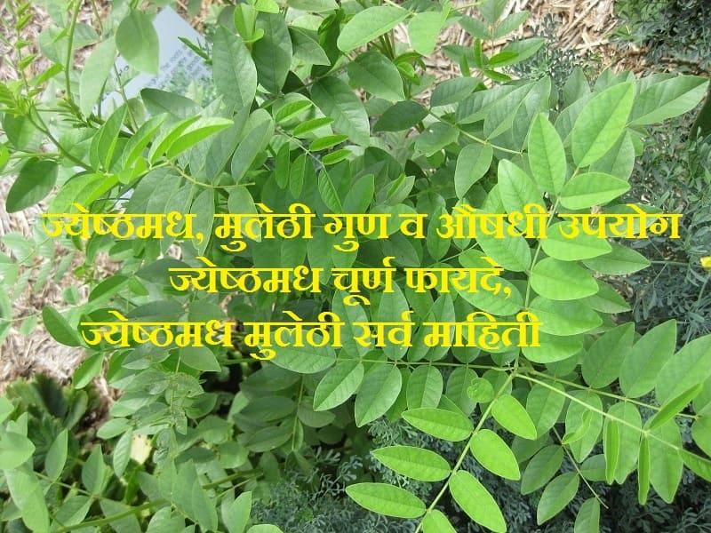Mulethi in Marathi, Jeshthamadh, ज्येष्ठमध माहिती, ज्येष्ठमध खाण्याचे फायदे, जेष्ठमधाचे फायदे, ज्येष्ठमध चूर्ण, ज्येष्ठमध उपयोग, ज्येष्ठमध म्हणजे काय ?, ज्येष्ठमध वनस्पती बद्दल माहिती, मुलेठी मराठी अर्थ, मुलेठी मराठी नाव,  Mulethi tree, Mulethi images, Jeshthamadh plant,