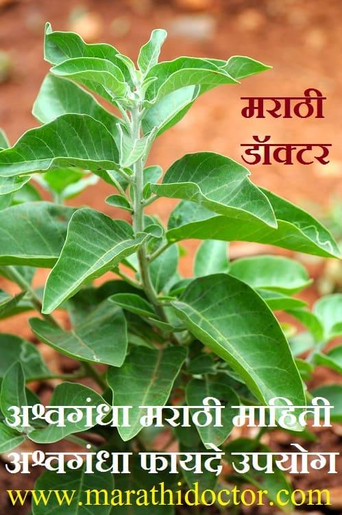 Ashwagandha in Marathi, Ashwagandha Uses in Marathi, Ashwagandha Meaning in Marathi, Ashwagandha Benefits in Marathi, Ashwagandha, Ashwagandha Marathi Mahiti अश्वगंधा मराठी माहिती, अश्वगंधा उपयोग मराठी, अश्वगंधा चे फायदे मराठी, अश्वगंधा गुण, अश्वगंधा फायदे, अश्वगंधा औषधी उपयोग, अश्वगंधा उपयोग, अश्वगंधा मराठी अर्थ, अश्वगंधा मराठी, ashwagandha powder in marathi, ashwagandha plant in marathi, ashwagandha information in marathi,