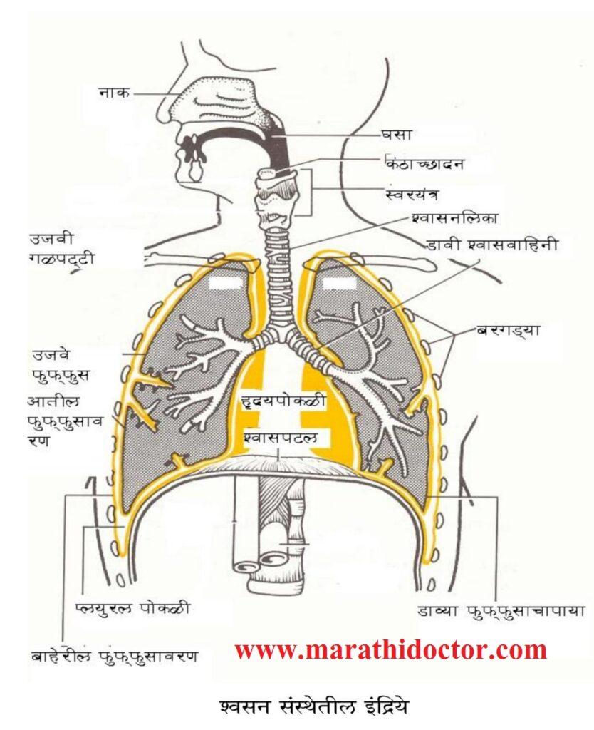 श्वसनसंस्थेतील अवयव, रचना व त्यांच्या कार्य Respiratory system in Marathi