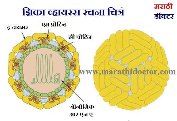 झिका विषाणू सर्व माहिती, झिका विषाणू काय आहे  Zika Virus in Marathi, Zika Virus in Marathi Information, Zika Virus Symptoms in Marathi,